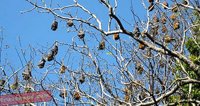 Bats Lose Out to Historic Trees in Sydney