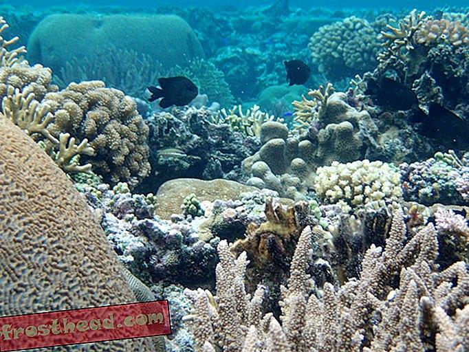 אלמוג זה הראה שהוא יכול להשפיע על מים חמים יותר