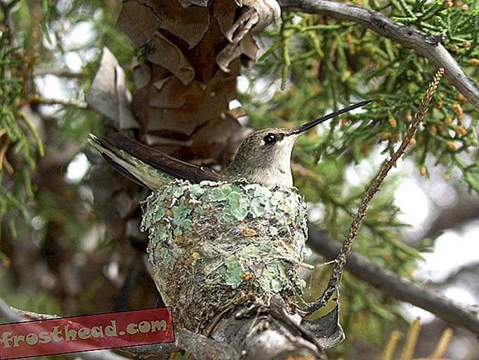 artikel, sains, hidupan liar - Hawks Act sebagai Muscle Unwitting for Hummingbirds