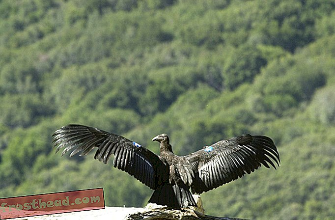 articles, science, faune - Condors: De retour du bord
