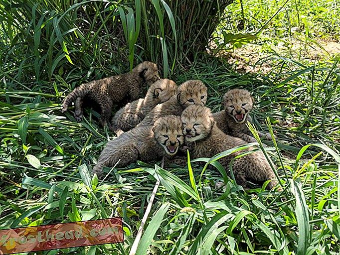Az Állatkert újabb hét imádnivaló gepárdkocka született