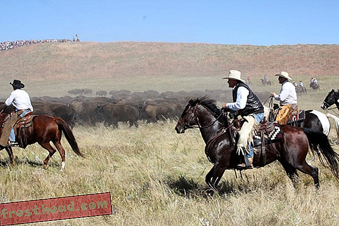 Saksikan Roundup Buffalo Wild West Real-Life