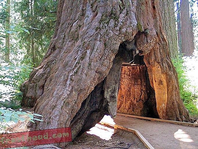 """Propadlo je eno od kalifornijskih ikoničnih """"tunelskih dreves"""""""