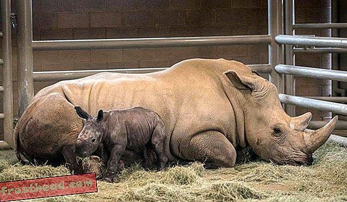 Nouvelles intelligentes, science de l'information intelligente - Un rhinocéros blanc méridional artificiellement conçu offre un espoir à un cousin en voie de disparition