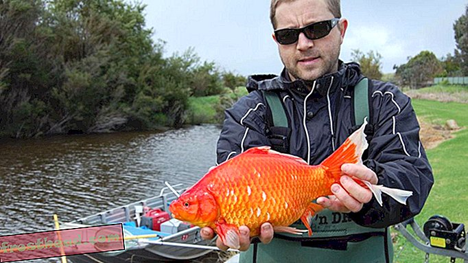 Ginormous Goldfish Invasing Australian Rivers