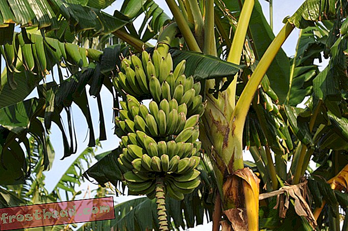ציוץ הגנום של הבננה יכול להציל את חייהם של אלפי ילדים באוגנדה