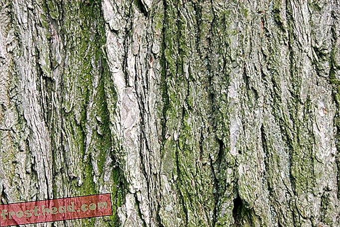 intelligens hír, intelligens hír tudomány - A NYC-ben levágott 70 éves fa klónozása és újratelepítése lesz
