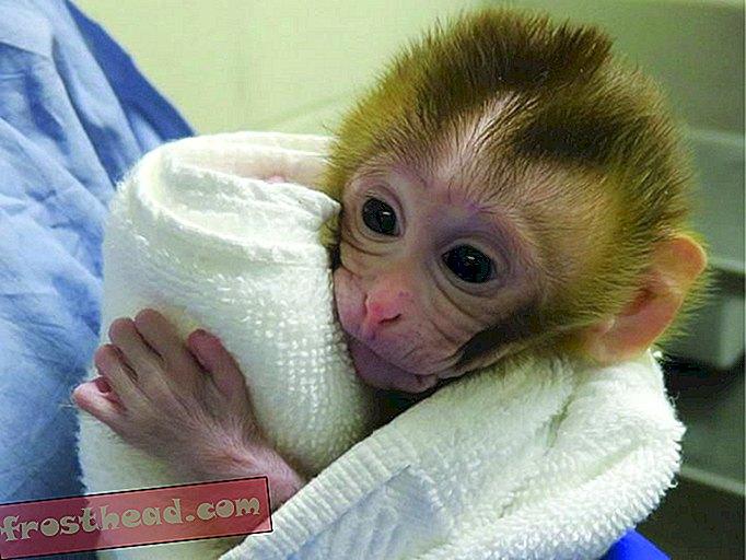 pametne vijesti, pametne vijesti - Majmun bebe rođen pomoću smrznutog tkiva testisa, daje nada za neplodne preživjele karcinome djetinjstva